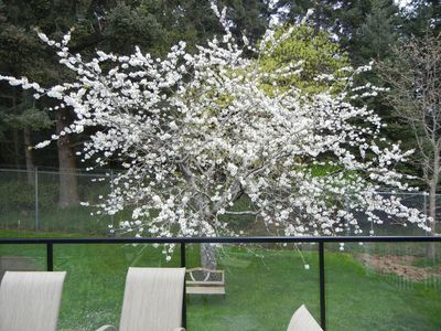 Back deck and garden with cherry tree in blossom