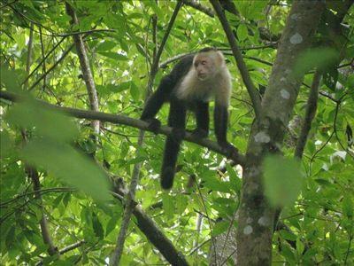 Chapuchin monkeys abound at nearby Hacienda Baru, a natural wildlife