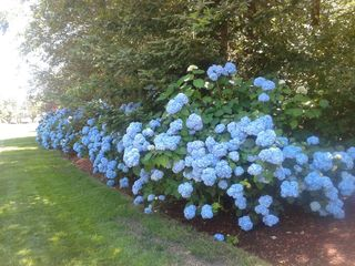 New Seabury condo photo - The famous blue hydrangeas of Cape Cod!