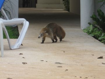 A coatimundi visits the pool.