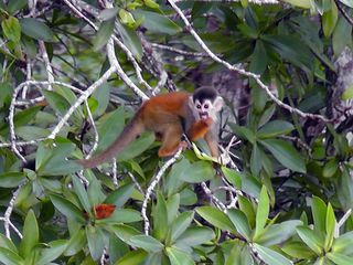 Drake Bay cottage photo - Squirrel Monkey spotted on the hiking trails