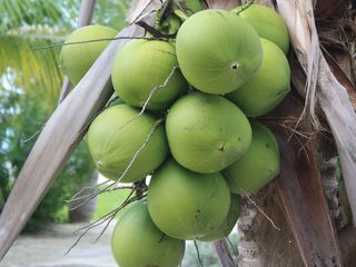Bimini cottage photo - Fresh Coconuts