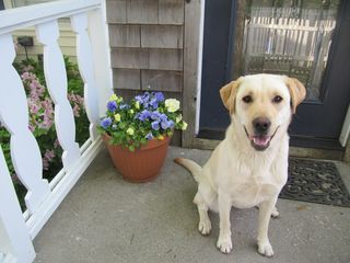 Manteo house photo - Our dear Lab, Luci, at the front door.