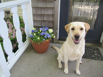 Our dear Lab, Luci, at the front door.