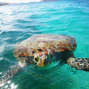 Turtle Tina...You can see her in Culebrita Island...
