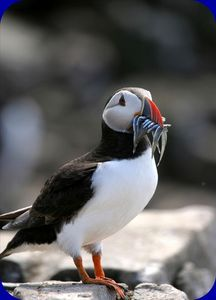 A Puffin having lunch