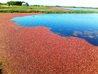 Tom Nevers cottage photo - Milestone Cranberry Bog during harvest