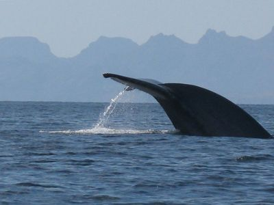 Loreto house rental - I took this photo of a giant blue whale right out in the Sea of Cortez
