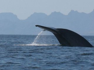 I took this photo of a giant blue whale right out in the Sea of Cortez