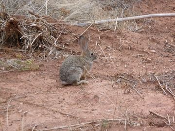 Lots of bunnies in Kanab.