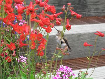 Juneau apartment rental - Rufous Hummingbird on the stairs to Fireweed House