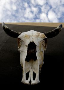 cow skull in the patio