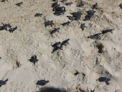Baby Sea Turtle release on Cozumel! Volunteers and observers welcomed!