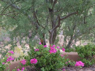 Fountain Hills house photo - Patio Bougainvillea with Ironwood in background