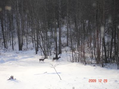 Winter Deer in your Back Yard!