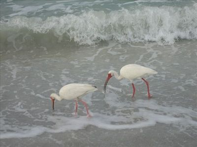 Ibis on the beach