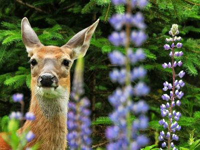 Rangeley Lake cabin rental - Deer in lupines near Pearl Cottage