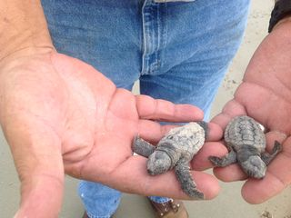 Tybee Island condo photo - Saving two baby turtles and taking them to sea.