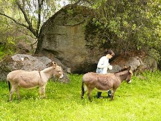Three Rivers farmhouse photo - Cody and Dixie, miniature donkeys