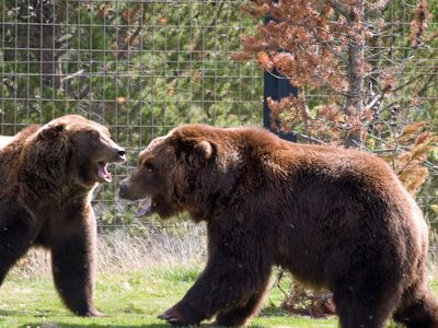 West Yellowstone cabin rental - Grizzlies at the Discovery Center in West Yellowstone.