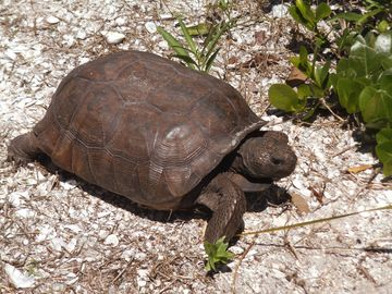 """Speedy,"" endangered gopher tortoise, your friendly neighbor."