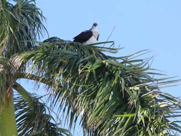 Osprey nesting at Tigertail Beach
