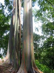 Princeville condo photo - Rainbow eucalyptus trees