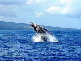 Kihei condo photo - Humpback Whale off Kihei