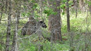 Whitefish cabin photo - That would be a black bear on my property