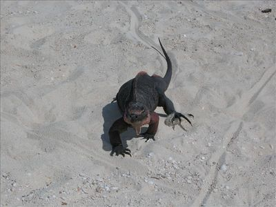 Protected iguanas on nearby Bitter Guana Cay