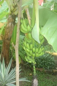Pick bananas right from the tree in the yard