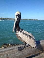 Cape Canaveral condo photo - Pelican friends at Jetty park