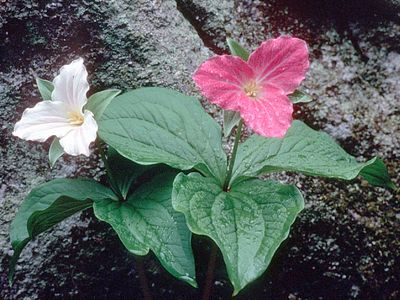 Tender Spring Trillium all over the mountain sides