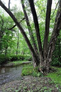 Giant willow trees grow along the streams and by the ponds