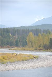 Elk grazing along the river - view from the front deck