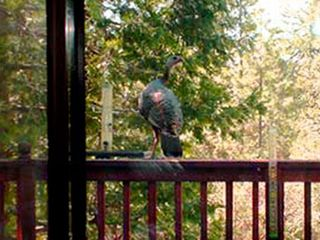 Mariposa chalet photo - Wild turkey hens often perch on the deck railing and enjoy the birdseed.