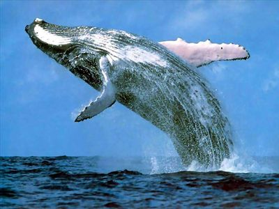 Wailea condo rental - Whale watching in Maui!!