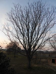 This stately tree stands guard over the cottage on a wintry day!