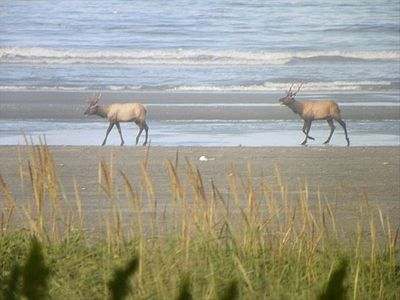 Moclips cottage rental - Rare to see but elk were walking on the beach and in the surf Last fall