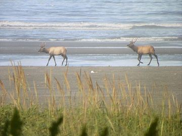 Rare to see but elk were walking on the beach and in the surf Last fall