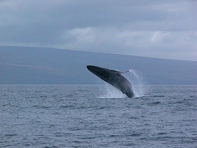 Between October and March, Humpback Whales can be seen breaching off the Lanai