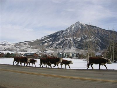 cattle drive in Crested Butte