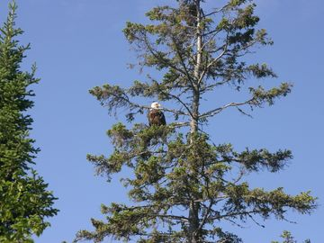 bald eagle visits Lutsen Lakehouse