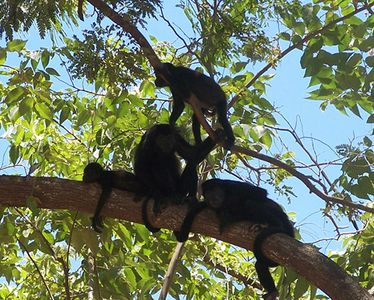 This troupe of howler monkeys was relaxing in the trees right above the condo.