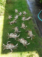 Langley house photo - Buy a crab license during the season and catch your limit.