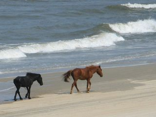 Carova house photo - Wild Mustangs on a Windy Carova Beach. This Photo Was Taken From the Gazebo.