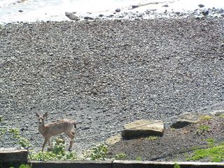 Port Ludlow condo photo - One of many deer wandering the beach below