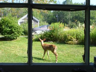 Southwest Harbor cottage photo - Doe thru Kitchen Window