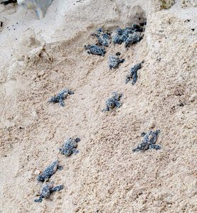 Turtles coming out of nest