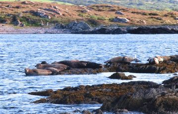 Seals on rocks near Pier Cottage
